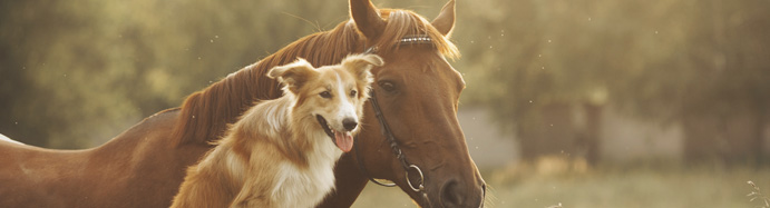 Red Collie Dog and Horse