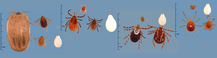Four different tick images