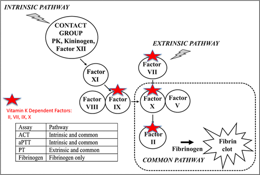Vitamin k dependent coagulopathy horizontal line intrinsic and extrinsic pathways diagram ccuart Choice Image